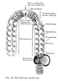 Метафазная хромосома рисунок
