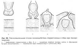 kakoe-rasstoyanie-preodolevaet-spermatozoid