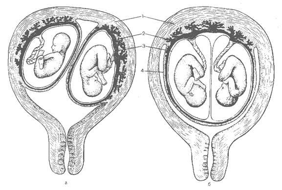 У плацентарных большое